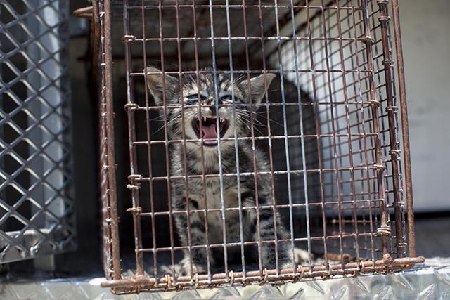 Loud Kitten