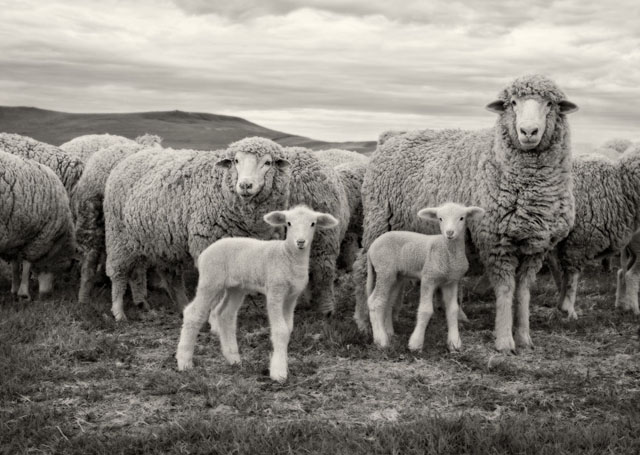 Lambing by Sue Bednarz